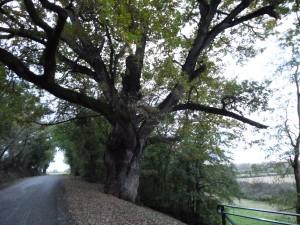 The Oak of Henry IV